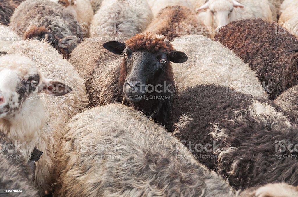 cute sheep in the herd stock photo