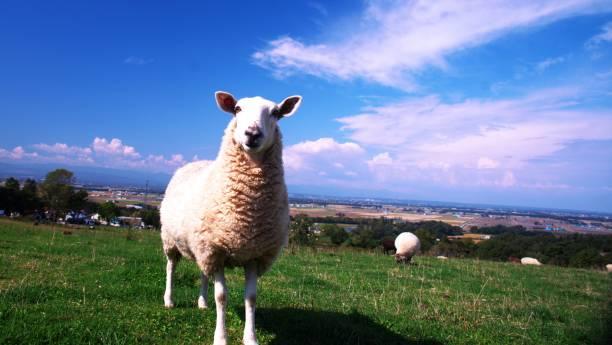 mignon mouton - année du mouton photos et images de collection