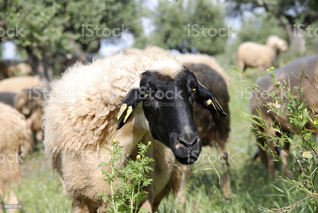 cute sheep with black head and white body royalty-free stock photo