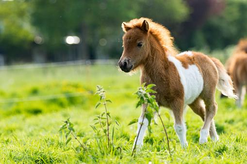 Cute shetland foal walking through the meadow