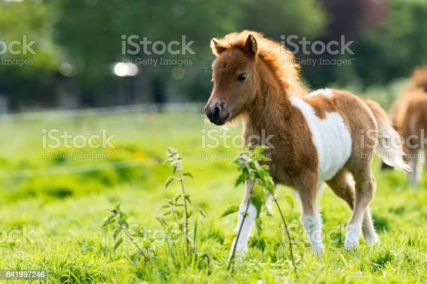 Cute shetland foal walking through the meadow picture id641997246?b=1&k=6&m=641997246&s=612x612&h=ri1gnclbgyfwrcqwwqx2cglvn3avcd8d0sprfbirjpg=