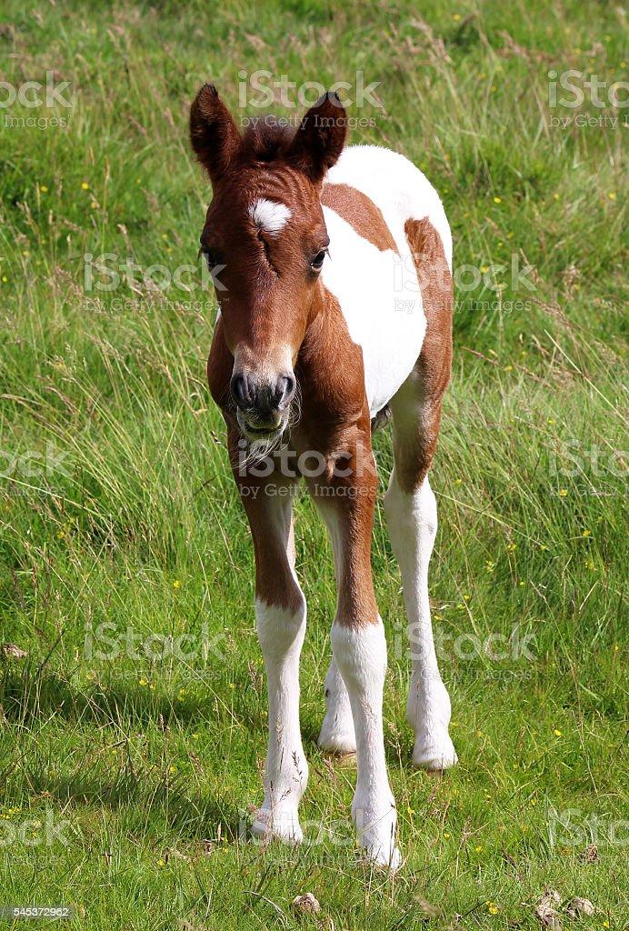 Cute Shetland Foals Baby Brown And White Horse Foto De Stock Y Mas Banco De Imagenes De Aire Libre Istock