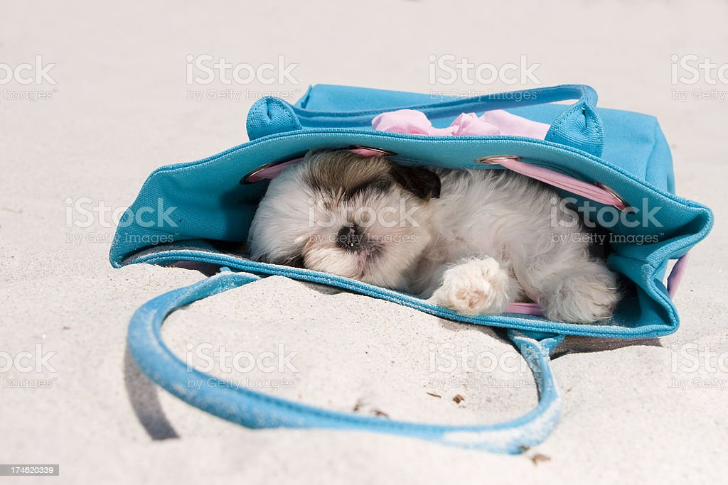 Cute Shih Tzu on the beach royalty-free stock photo