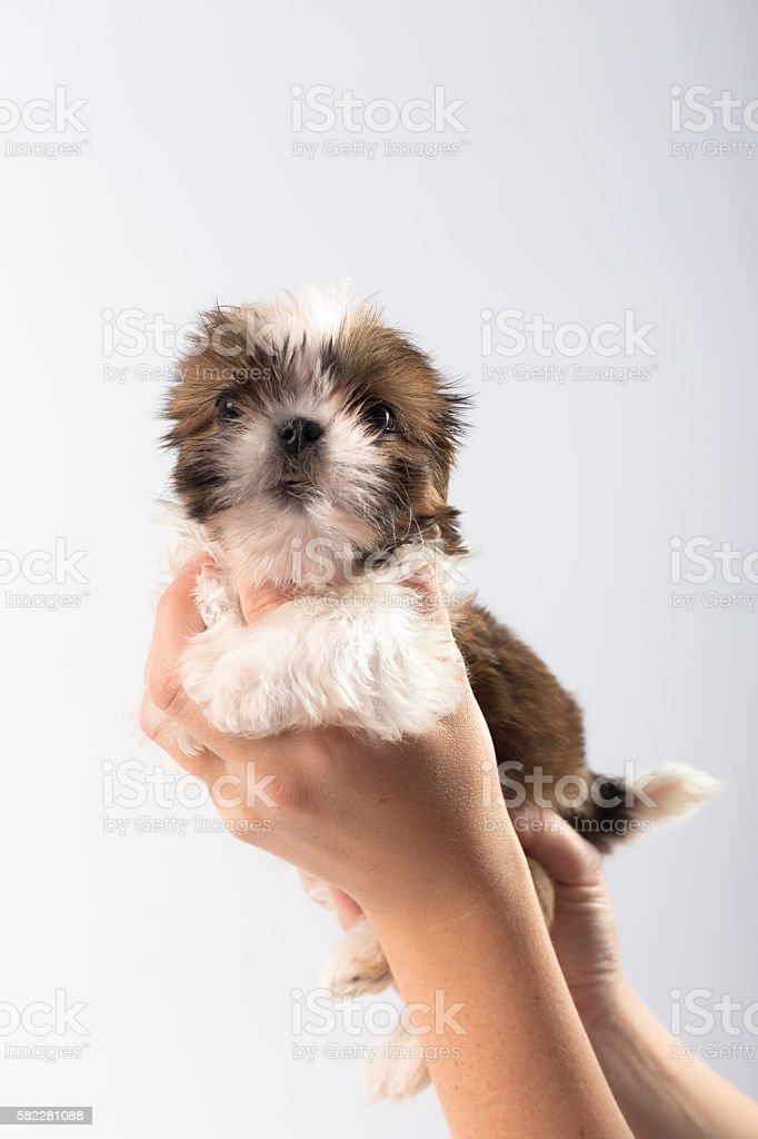 Cute Shih Tzu Puppy In The Womans Hand Stock Photo Download Image Now Istock