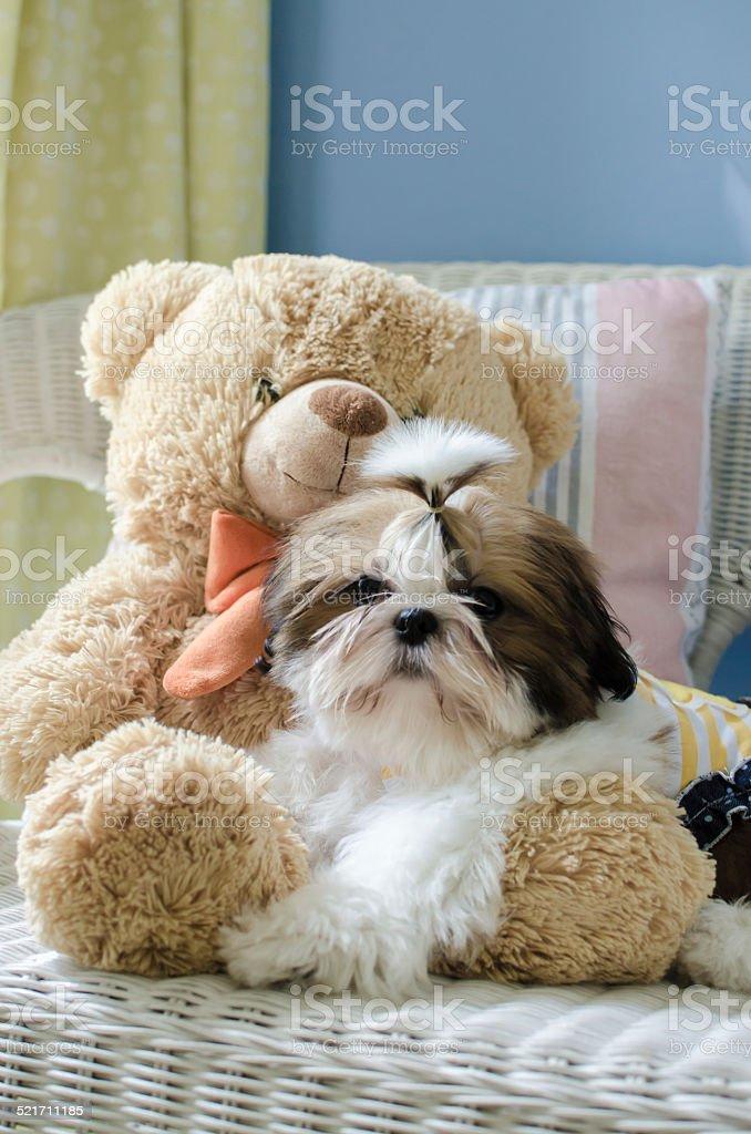 Cute shih tzu puppy is crouching on sofa stock photo