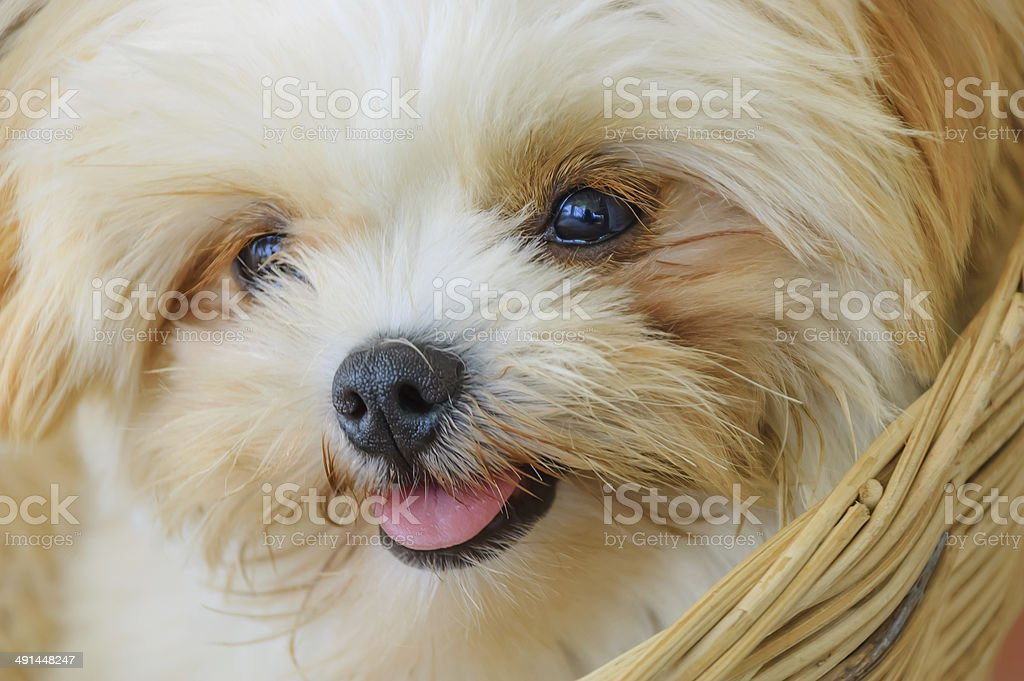 Cute Shih Tzu Puppy Stock Photo Download Image Now Istock