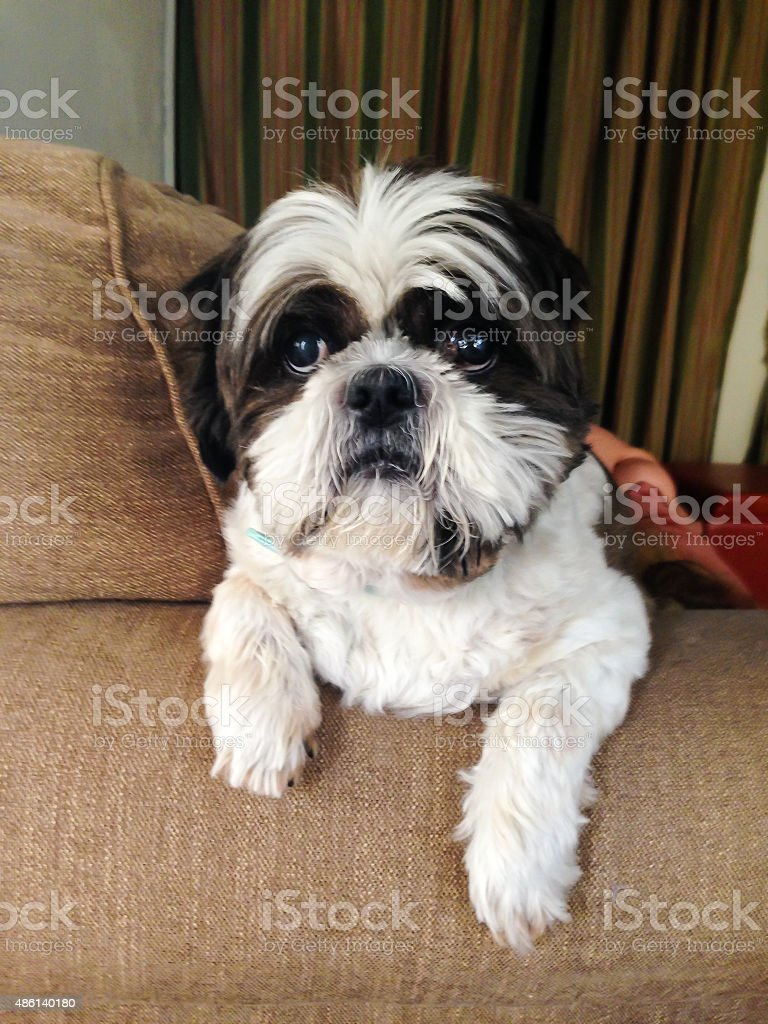 Cute Shih Tzu sits comfortably on the couch stock photo