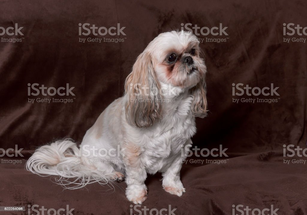 Cute Shihtzu Puppy Dog Posing On A Brown Background Stock Photo Download Image Now Istock