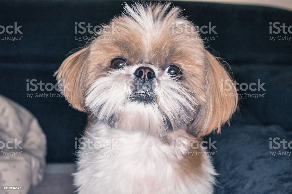 Cute Shihtzu Puppy Stock Photo Download Image Now Istock
