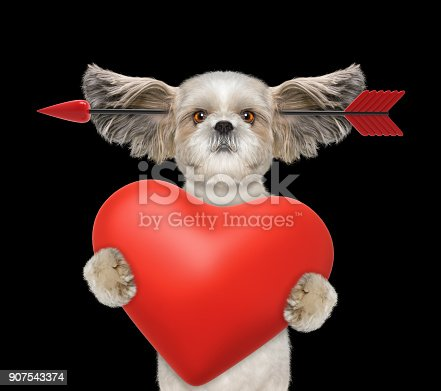 istock Cute shitzu dog is falling in love on valentines day. Isolated on black 907543374