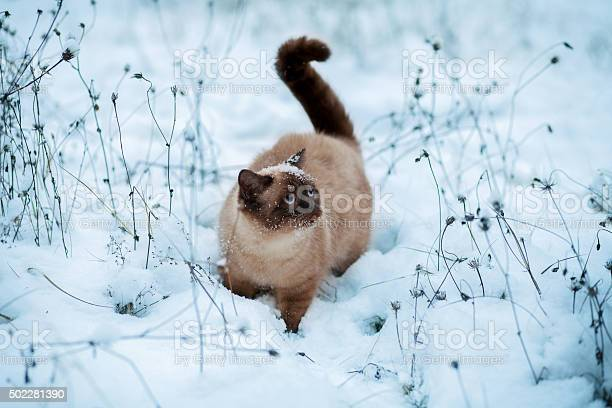 Cute siamese cat walking in snow picture id502281390?b=1&k=6&m=502281390&s=612x612&h=faqizei9tkmuvxbhs1orqxdon9w u5 y 6xshkbehby=