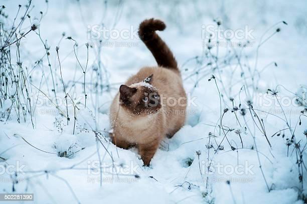 Cute siamese cat walking in snow picture id502281390?b=1&k=6&m=502281390&s=612x612&h=faqizei9tkmuvxbhs1orqxdon9w u5 y 6xshkbehby=