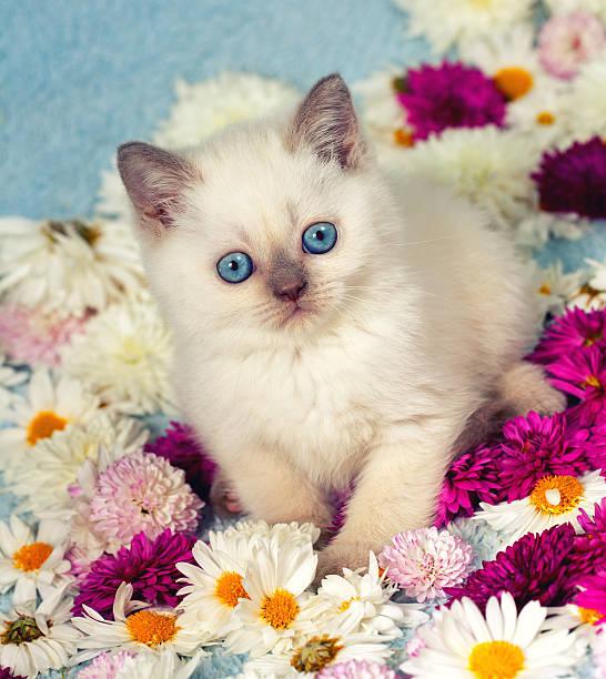 Cute siamese little kitten in flowers picture id468504352?b=1&k=6&m=468504352&s=612x612&w=0&h=yqylr bp5nitem8vqsgik phobrho7vc1qziq4t09ls=