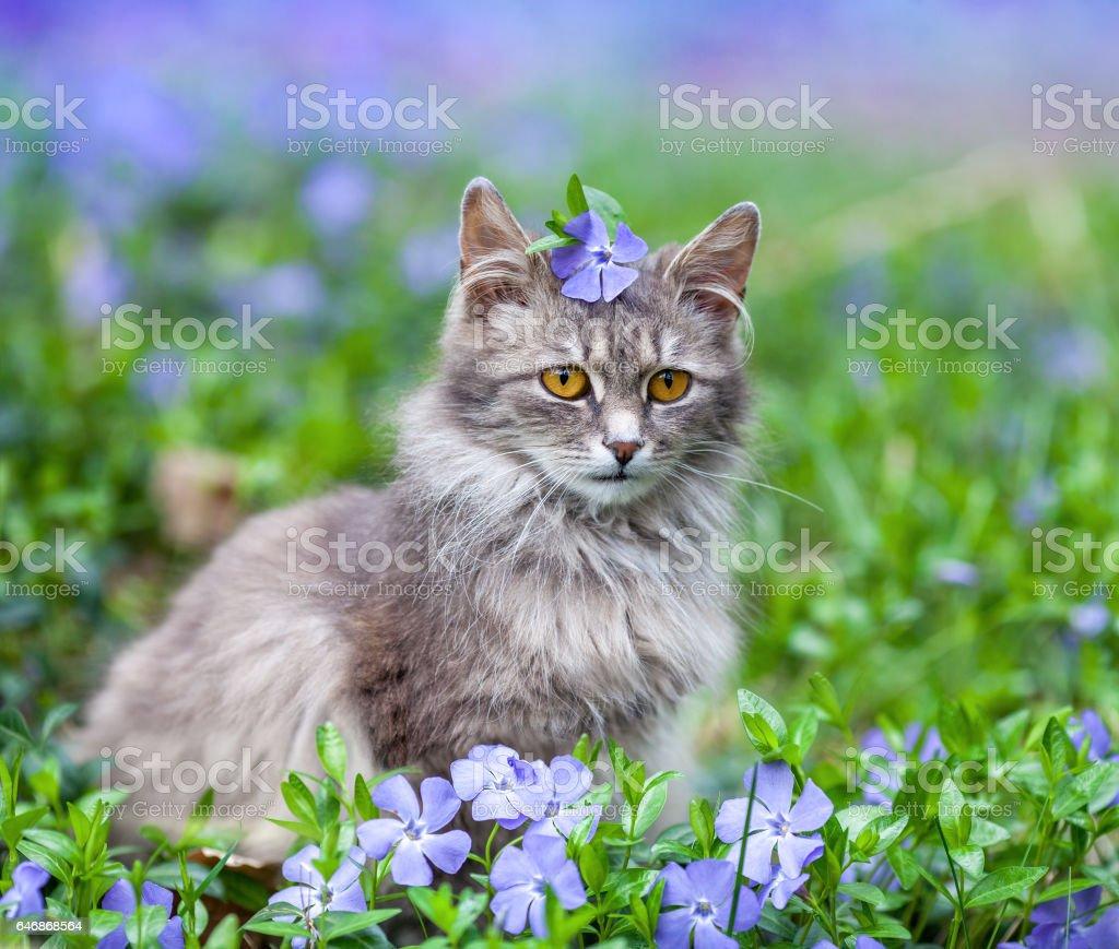 Cute siberian cat lying on the periwinkle lawn – Foto