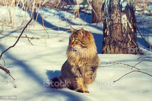 Cute siberian cat walking in the snowy forest picture id473317660?b=1&k=6&m=473317660&s=612x612&h=ysqxtmr4z akcb9ecvaxvinq5fpiij5wklllckt4jcg=
