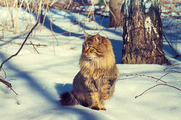 Cute siberian cat walking in the snowy forest picture id473317660?b=1&k=6&m=473317660&s=612x612&w=0&h=5h2yr0tu6bfdrtomp3g yxkasvbylrytamej6jmrbws=