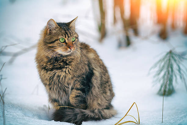 Cute siberian cat walking in the snowy forest picture id520439285?b=1&k=6&m=520439285&s=612x612&w=0&h=pziancnggcxtdk0osguyvkniyxv1fxaa6y3q7uubd88=