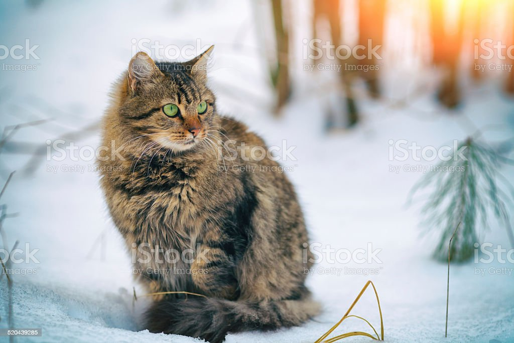 Cute siberian cat walking in the snowy forest stock photo