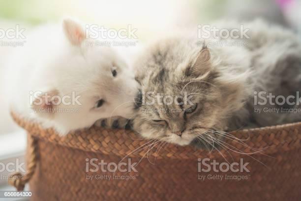 Cute siberian husky and persian cat lying picture id656664300?b=1&k=6&m=656664300&s=612x612&h=dequnuefqjzwpxn8i6j4larljlqzw9pwmvtxb2ei85i=