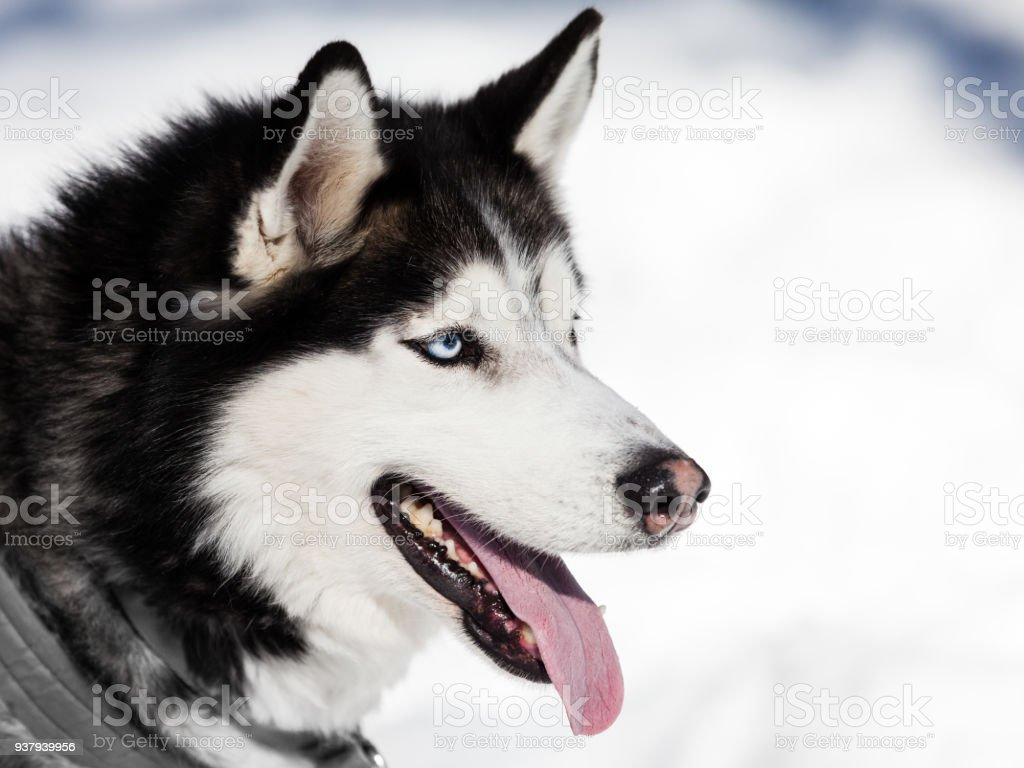 Cute Siberian Husky Dog Walking Outdoor Stock Photo More Pictures