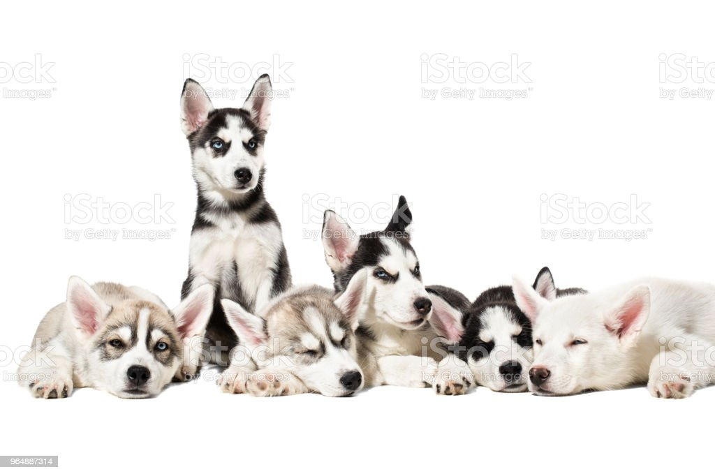 Cute Siberian husky puppies on white background royalty-free stock photo