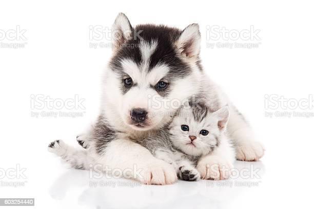 Cute siberian husky puppy cuddling cute kitten picture id603254440?b=1&k=6&m=603254440&s=612x612&h=x1xtmrbjpcivf1zaq2nbjkus6 9uoqae4wyrfc cchm=