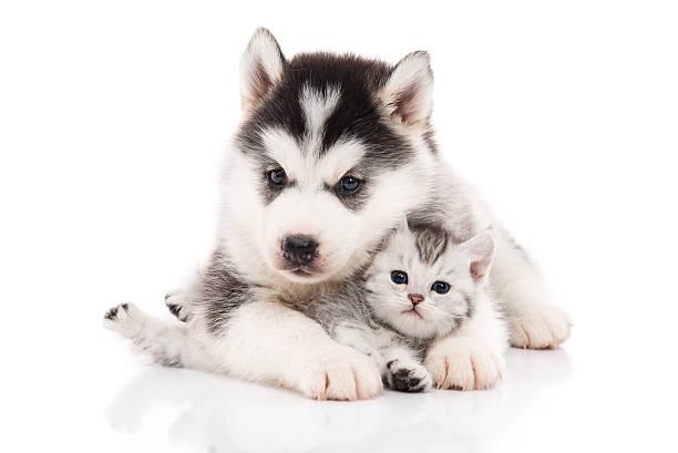 Cute siberian husky puppy cuddling cute kitten picture id603254440?b=1&k=6&m=603254440&s=612x612&w=0&h=pcauooaiwho1xbdeoccshf9irkmiu24bdpgcmhwyhzo=