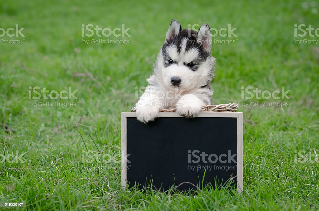 Cute Siberian Husky Puppy Holding Black Board Stock Photo Download Image Now Istock