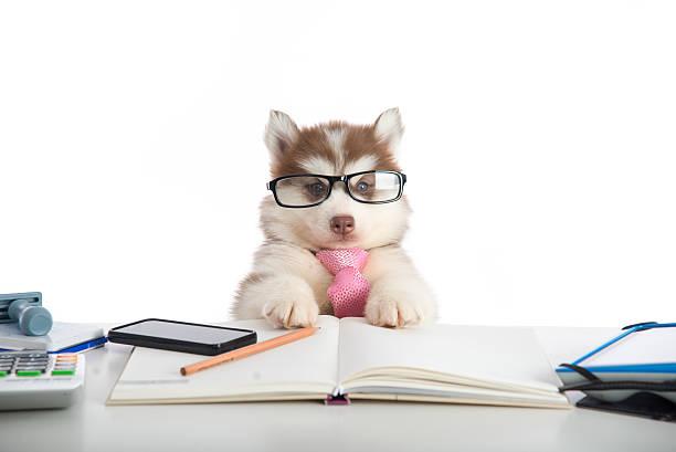 süße sibirischer husky hund in gläsern arbeiten - humor bücher stock-fotos und bilder
