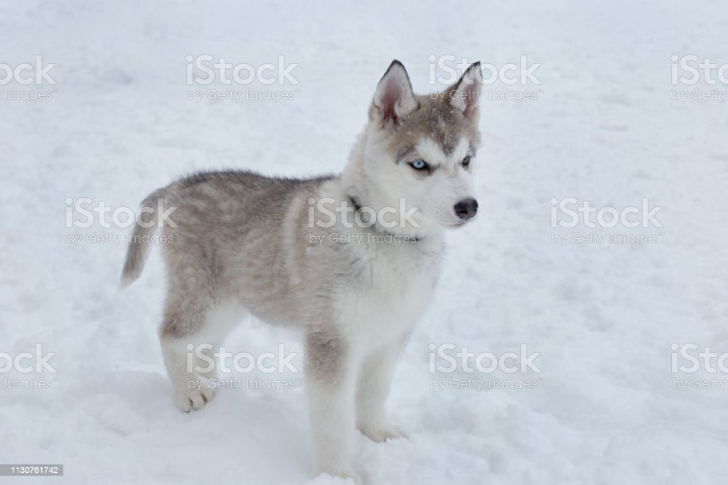 Cute Siberian Husky Puppy On A Background Of White Snow Pet Animals Stock Photo Download Image Now Istock