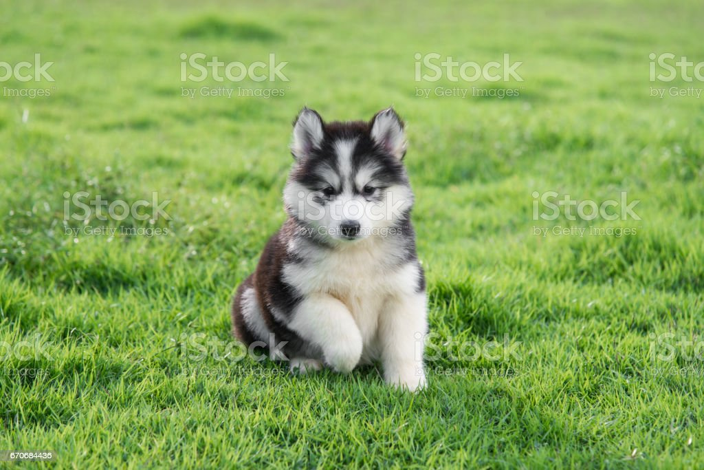 Cute Siberian Husky Puppy On Grass Stock Photo Download Image Now Istock