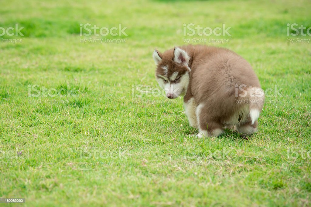Cute Siberian Husky Puppy Pooping On Green Grass Stock Photo More