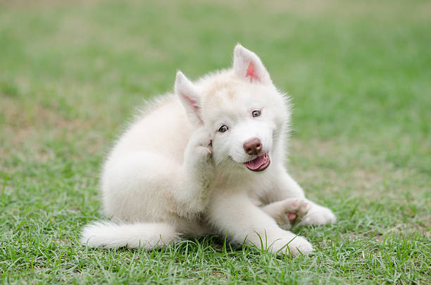 cute siberian husky puppy scratching - scratching stock photos and pictures