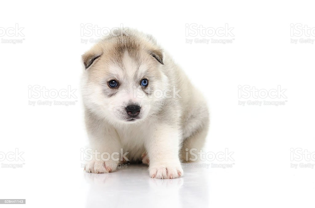 Cute Siberian Husky Puppy Sitting On White Background Stock Photo Download Image Now Istock