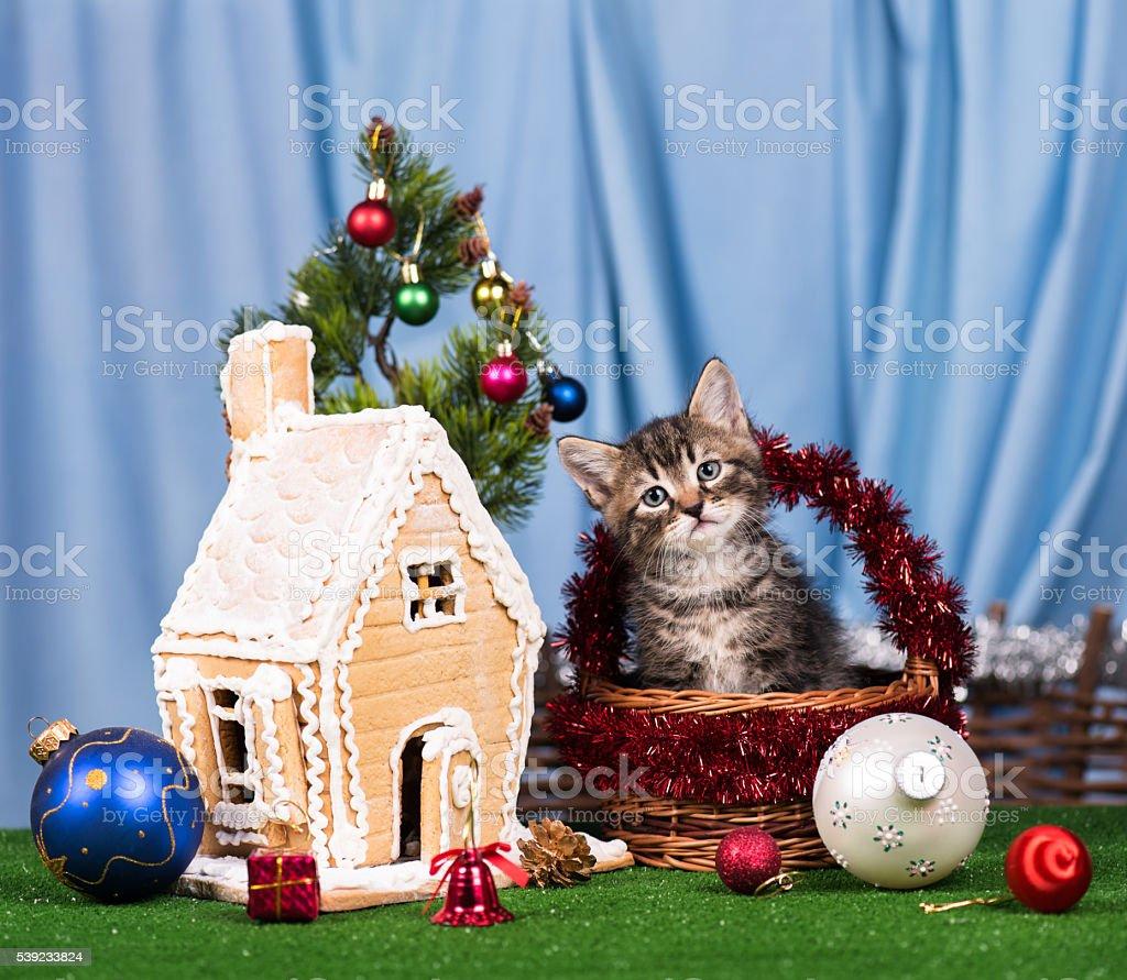Mascota lindo siberiano foto de stock libre de derechos