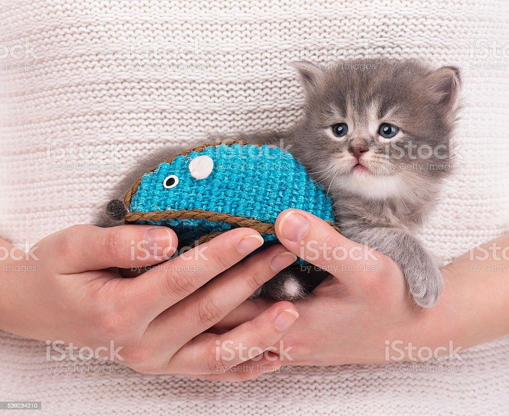 Cute siberian kitten royalty-free stock photo
