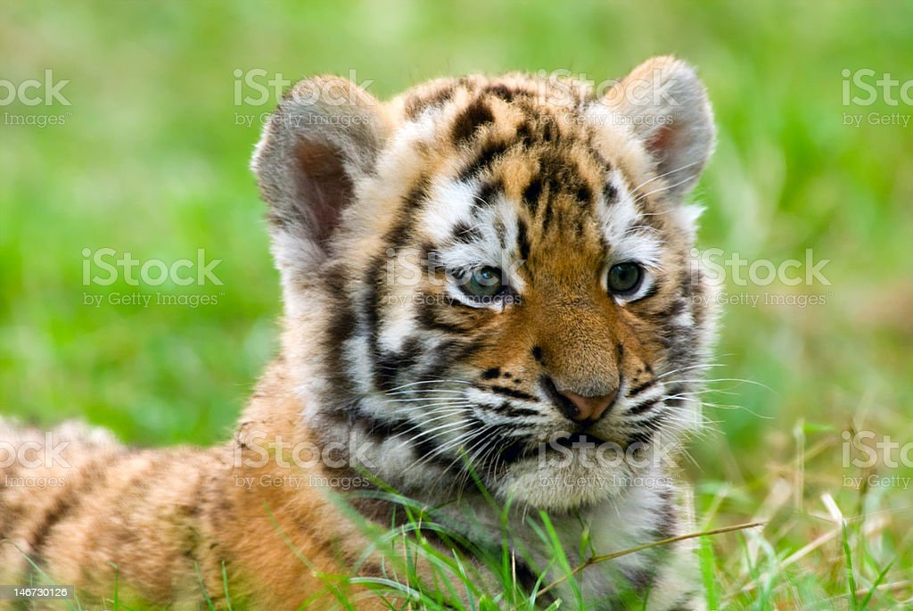 Süße Sibirischer tiger cub – Foto
