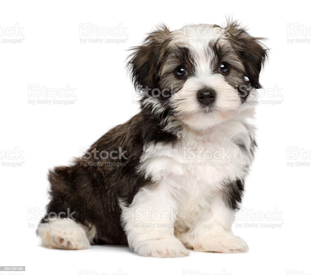 Cute silver sable havanese puppy dog stock photo