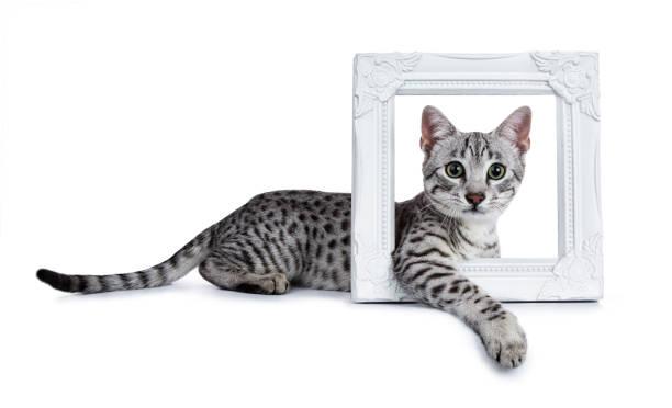 Cute silver spotted egyptian mau cat kitten laying side ways with picture id956888206?b=1&k=6&m=956888206&s=612x612&w=0&h=f2nqb2owpn7dewofzmqcewactfx9 4kxlfef gwcz2w=