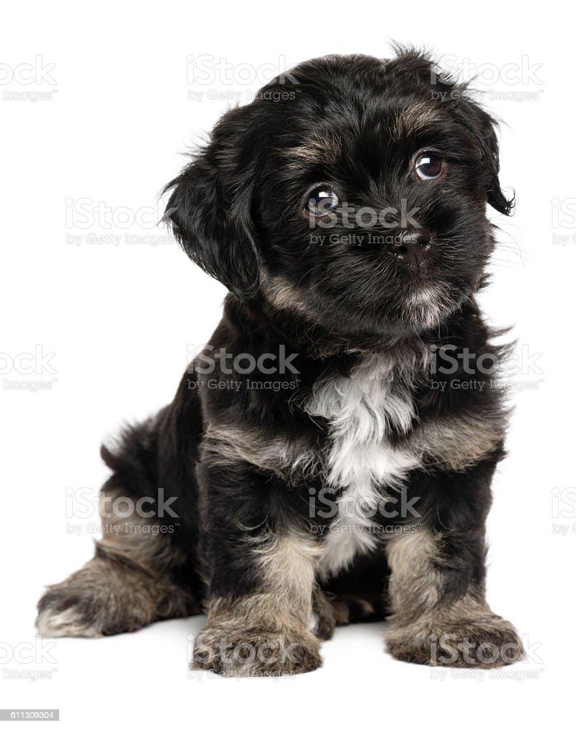 Cute Sitting Black And Tan Havanese Puppy Dog Foto De Stock Y Mas Banco De Imagenes De Alegre Istock