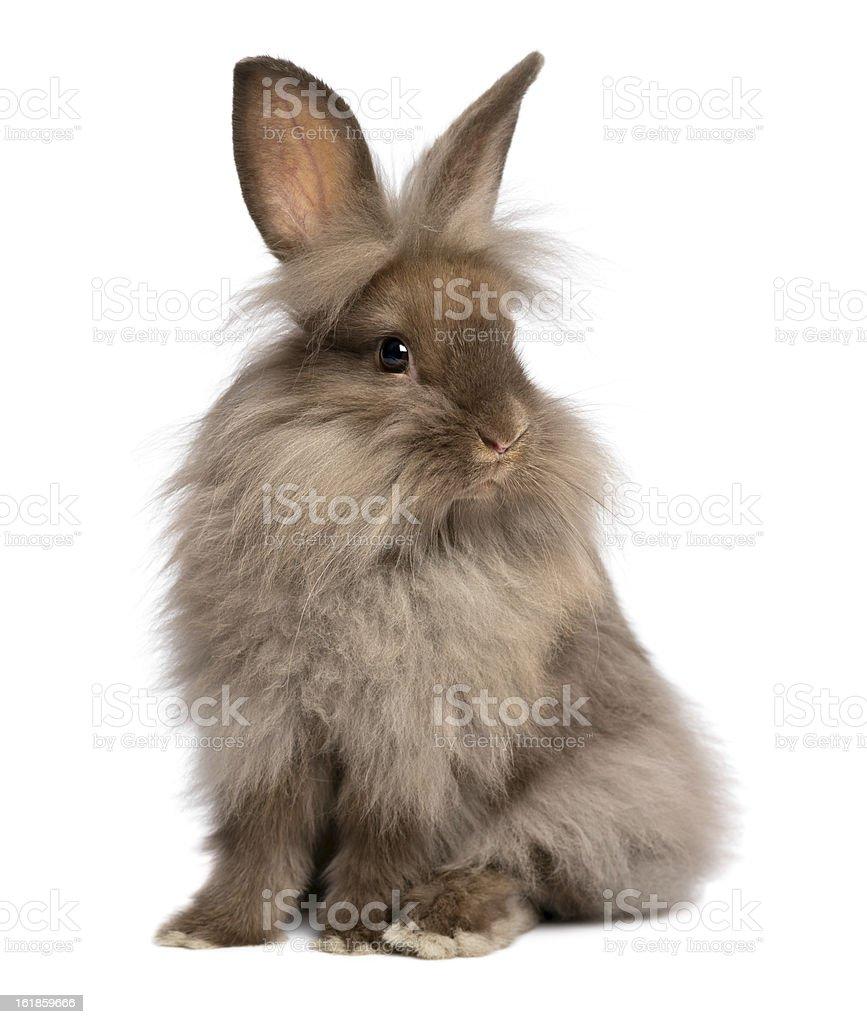 Cute sitting chocolate lionhead bunny rabbit royalty-free stock photo