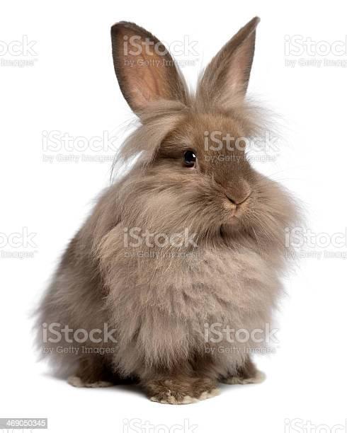 Cute sitting chocolate lionhead bunny rabbit picture id469050345?b=1&k=6&m=469050345&s=612x612&h=2nb1ypsfuh6ujfee9dy9 y1dgxlkogvhdfdipd0rshm=