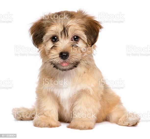 Cute sitting havanese puppy dog picture id611308904?b=1&k=6&m=611308904&s=612x612&h=m531az0ywchrnnz7hojnnrbub5oyh zmx8kpxdft xm=