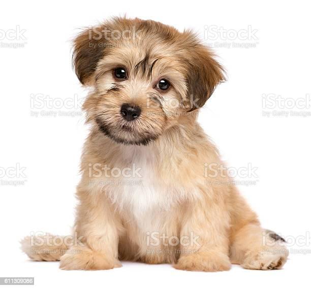 Cute sitting havanese puppy dog picture id611309086?b=1&k=6&m=611309086&s=612x612&h=kelvzjxdxj6utqnarn7jpoxhugkram8x rfss68jjnc=