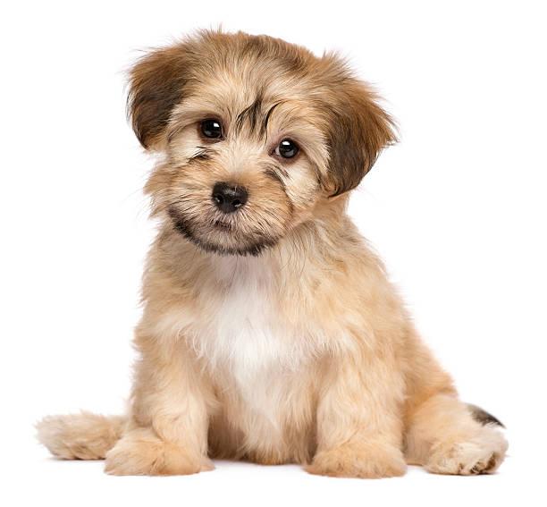 Cute sitting havanese puppy dog - Photo