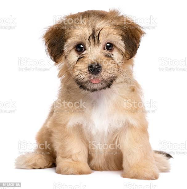 Cute sitting havanese puppy dog picture id611309188?b=1&k=6&m=611309188&s=612x612&h=1ps hp02le2jtgv53kpe1cusghvwqhxxk2cmbehjfmq=