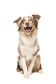 istock Cute sitting smiling australian shepherd facing the camera with its mouth open seen from the front on a white background 1251005476