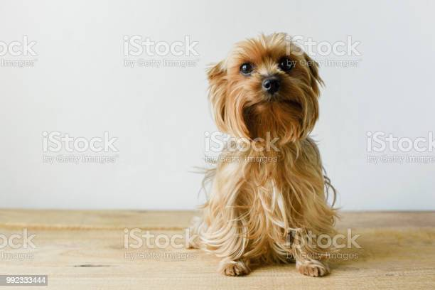 Cute sitting yorkshire terrier in a living room setting with a white picture id992333444?b=1&k=6&m=992333444&s=612x612&h=uhgal1v1 lwjnzoqy8pczsmfjot58fexr 3cgod4mhc=
