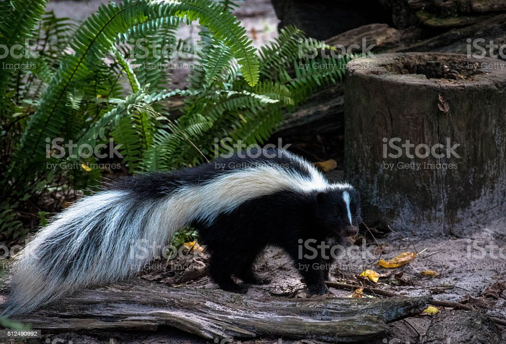 Cute skunk with long fluffy tail stock photo