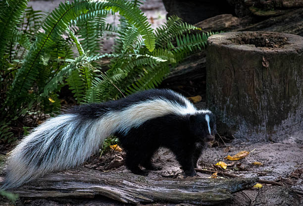 cute skunk with long fluffy tail - skunk stock photos and pictures